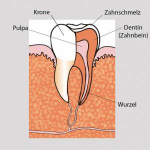 Aufbau eines Zahnes